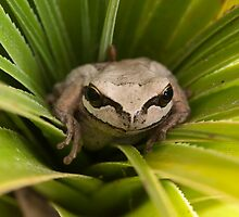 Brown tree frog!!!! by Brian French