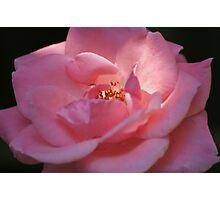 My Pink Rose Photographic Print