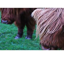 Ginger/Strawberry blonde and a brown pair of Scottish Cows Photographic Print