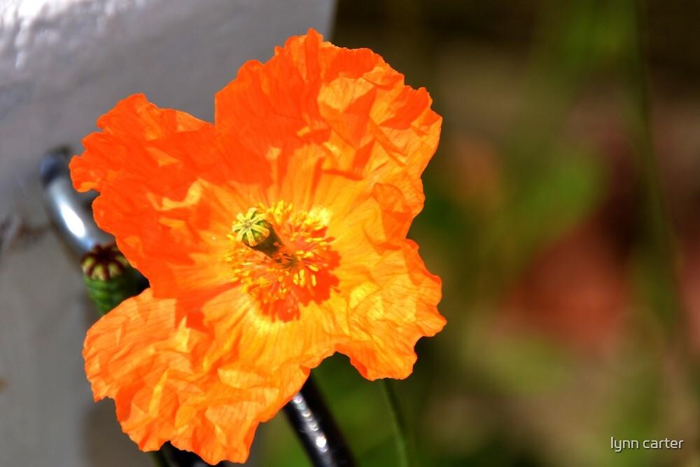 Welsh Poppy by lynn carter
