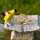 I'm Better Now (American Goldfinch) by Yannik Hay