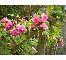 FENCED ROSES Photographic Print