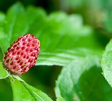 Wild Strawberry by Colin Payne
