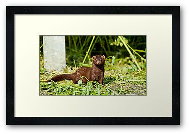 An American Mink by Richard Lee