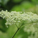 Elderflowers by karina5