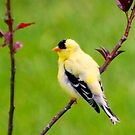 Pavane (American Goldfinch) by Yannik Hay
