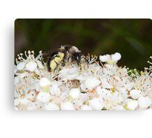 Ashy Mining Bee on Pyracantha Canvas Print