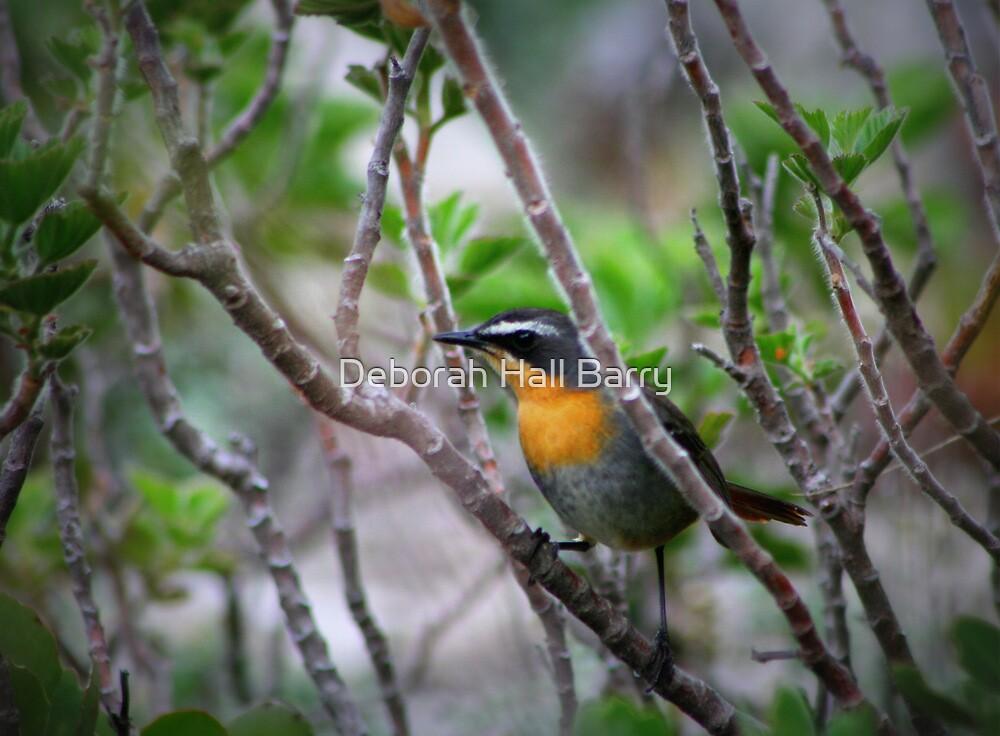 Cape Robin by Deborah Hall Barry