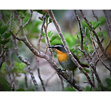 Cape Robin Photographic Print