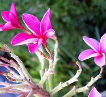 Hot pink plumeria by ♥⊱ B. Randi Bailey