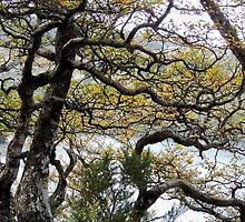 Mature Fagus, Dove Lake Track, Cradle Mountain, Tasmania,  Australia. by kaysharp