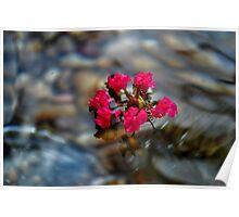 Crepe Myrtle Flower Poster