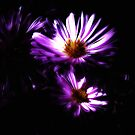 Aster by pther