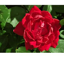 Red Rose in Full Bloom Photographic Print