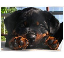 Cute Rottweiler Puppy Resting Head Between Paws Poster