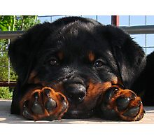 Cute Rottweiler Puppy Resting Head Between Paws Photographic Print