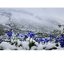 Snow Lupin Photographic Print
