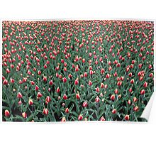 Colorful tulips in spring Poster