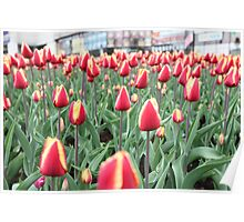 Colorful tulips in the city Poster