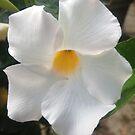 "White Mandeville by Christine ""Xine"" Segalas"