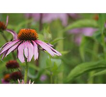 Echinacea purpurea Photographic Print