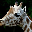 Giraffe closeup by Peter Wiggerman