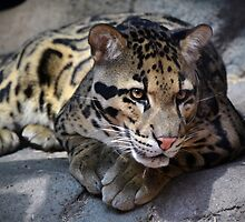 Clouded Leopard by Savannah Gibbs