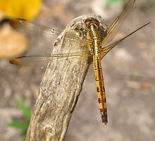 Dragon Fly by Abby Lewtas