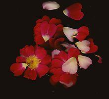 Rose Petals by Amanda Ziegelbauer