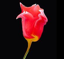 liquid tulip by allan76