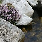 heather on rock by tomstroud