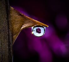 Tear - A Drop of water on the Thorn of a rose refracting a whole rose by Robby Ticknor