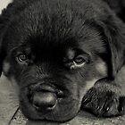 Rottweiler Puppy by jonlarr31