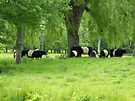 Lush Meadow with Belted Galloways  by John  Kapusta