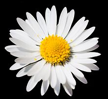 Daisy by Chris Wood