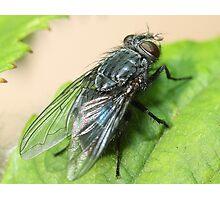 Housefly  Photographic Print