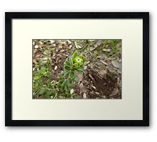 Single Bud of Melaleuca megacephal, Australian Native shrub. Framed Print