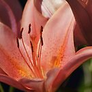 Pink Lily by Lorelle Gromus