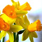Daffodils with Soft Light by CrystalFanning