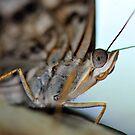 Butterfly Closeup by Dennis Stewart
