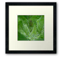 Scarlet and Green Leafhopper on budding Sunflower Framed Print