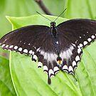 Spicebush Swallowtail by ZeeZeeshots