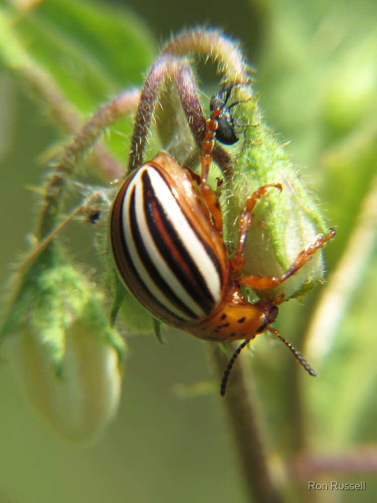 False Potato Beetle on Horse Nettle by Ron Russell