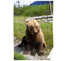 Rescued Grizzly Bear at the Anchorage Wildlife Refuge Poster