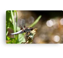 Broad-Bodies Chaser Canvas Print