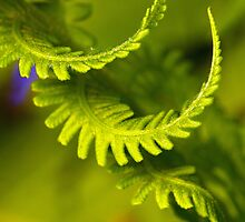 The Ostrich Fern by Lynn Gedeon