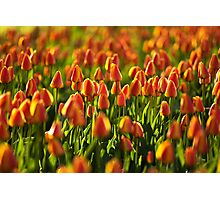 Flower bed of Tulips Photographic Print