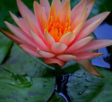 Waterlily Apricot and Orange by Brent McMurry