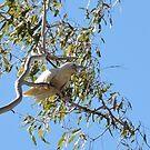 Little Corella, Windjana Gorge, Kimberley, Western Australia by Margaret  Hyde