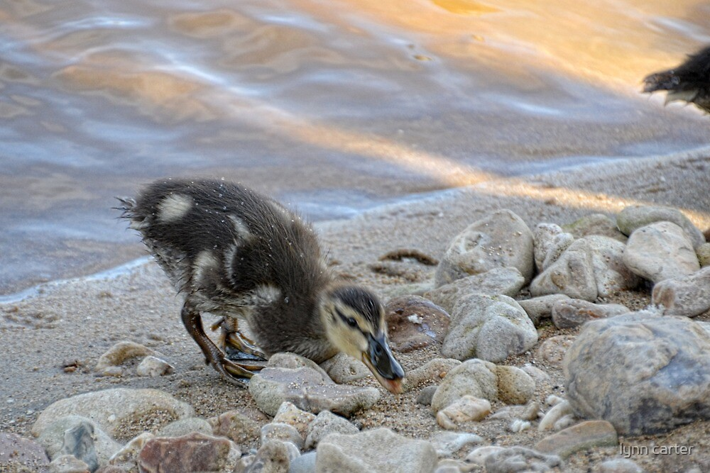 Duckling Coming For Lunch by lynn carter